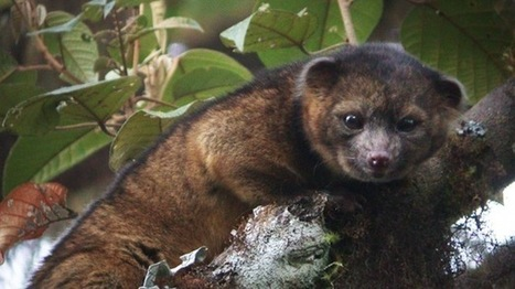 Newly discovered mammal species is 'a cross between a house cat and a teddy bear' | I Love Biology | Scoop.it