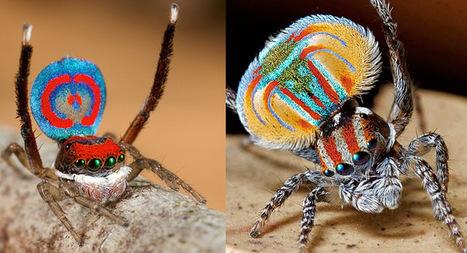 Descubren dos nuevas especies de arañas Pavo Real (vídeo) | Agua | Scoop.it