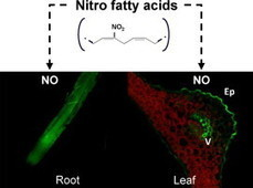 ScienceDirect.com - Plant Science - Hypothesis: Nitro-fatty acids play a role in plant metabolism | Plant Breeding and Genomics News | Scoop.it