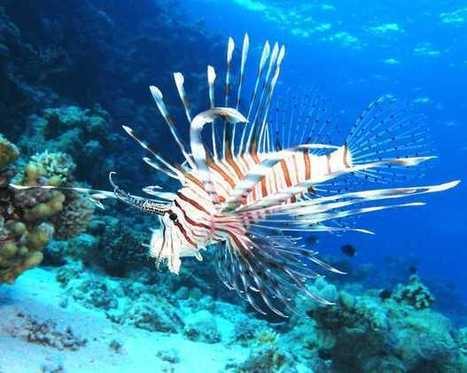State fisheries managers recommend further efforts to fight invasive lionfish | #scuba #oceans #FloridaKeys #scubadiving | Scuba Diving | Scoop.it