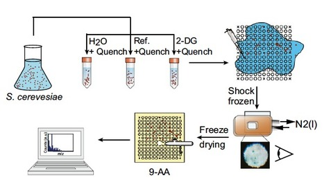 Mass spectrometry-based metabolomics of single yeast cells | BiotoposChemEng | Scoop.it