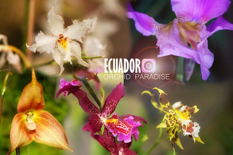 Ecuador   Orchid Capital of the World   Travel Exotics of the world   Scoop.it