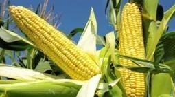 Nigerian maize price soars, as global prices increase | MAIZE | Scoop.it