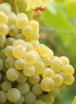 De Pecorino druif | 3 Wijngekken die dol zijn op wijn ! | Lekkerlekker | Scoop.it