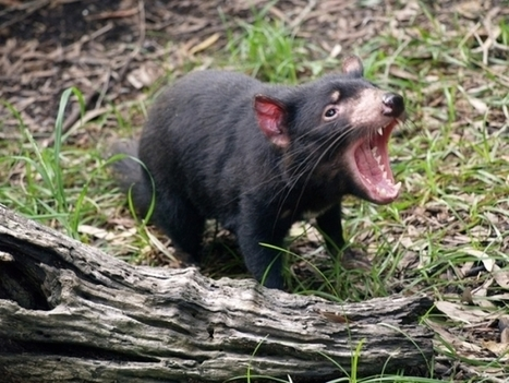 Endangered Tasmanian Devils Return To the Wild in Test of New Cancer Vaccine | GarryRogers NatCon News | Scoop.it