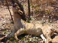 TRAFFIC - Wildlife Trade News - New report finds illegal hunting and bushmeat trade of wildlife in Savanna Africa could result in a 'conservation crisis' ifunchecked   The Wild Planet   Scoop.it