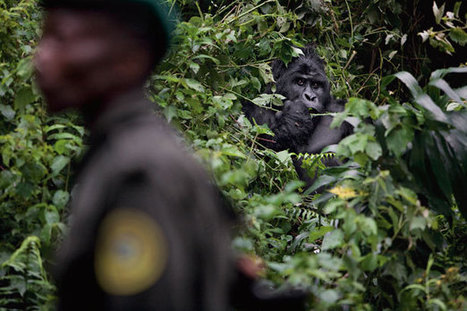Who Murdered the Virunga Gorillas? - National Geographic Magazine   Redemption for Animals   Scoop.it