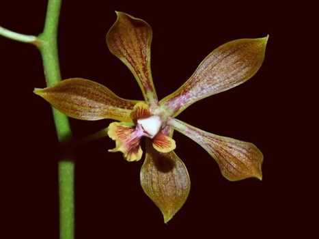 Encyclia inopinata : Une nouvelle espèce d'orchidée découverte au Mexique | The Blog's Revue by OlivierSC | Scoop.it