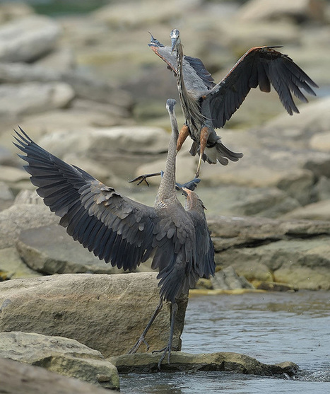 Ode to the Great Blue Heron | Amocean OceanScoops | Scoop.it