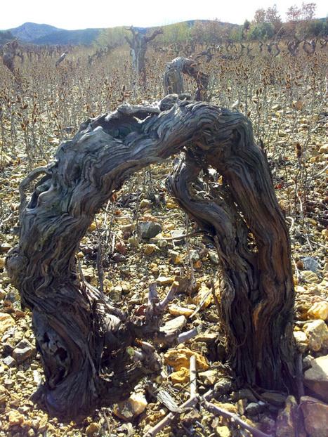 L'amour est un liant, la vigne une liane : la vigne c'est de l'amour ! | Le Vin et + encore | Scoop.it