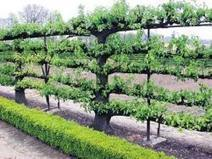Espalier Apple Tree Fence | Central New York Traveler | Scoop.it