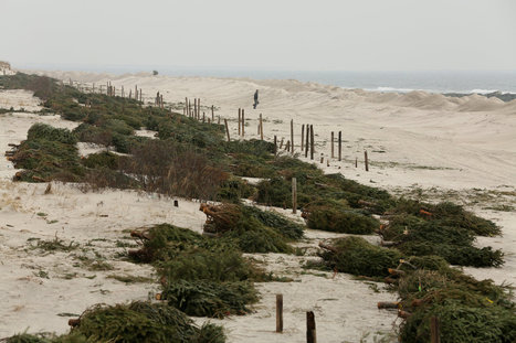 On Decimated Shore, a Second Life for Christmas Trees | Christmas Trees and More | Scoop.it