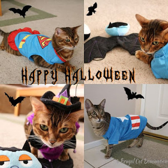 Bengal Cat Domination: The Return Of The Evil Eye Halloween Adventure | Love Of Cats | Scoop.it