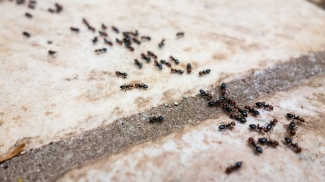 Why Do Ants Have an Inherent Bias to Turn Left? | animals and prosocial capacities | Scoop.it