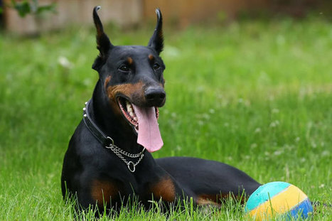 What Dog Food is Best For Dobermans | Pets – Your Little Friends | Scoop.it