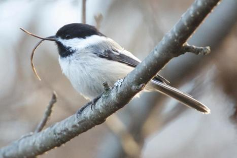Newly discovered virus a prime suspect in often-fatal beak disorder spreading among birds | Virology and Bioinformatics from Virology.ca | Scoop.it