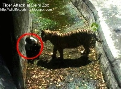Prevention and steps to survive Tiger attack ~ Wildlife travel and tourisms   computer hardware and networking course   Scoop.it