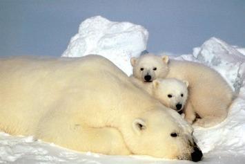 """Appel en faveur des ours polaires, menacés par le réchauffement climatique   Environnement, Pollution et Eco-Logis """"AutreMent""""   Scoop.it"""