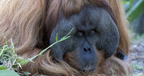 Orangutan releases debut jazz single celebrating 'World Orangutan Day' | Kool Look | Scoop.it