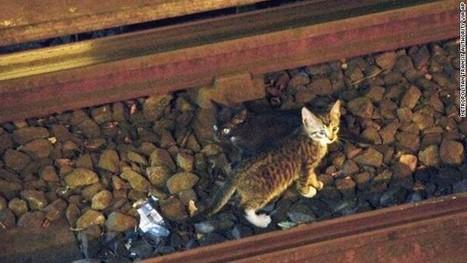 Kittens risk all nine lives in subway caper | Feline Health and News - manhattancats.com | Scoop.it