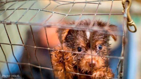 Tell the AKC to Stop Protecting Puppy Mills! | Saving STRAYS, PETS and SHELTER ANIMALS~ | Scoop.it