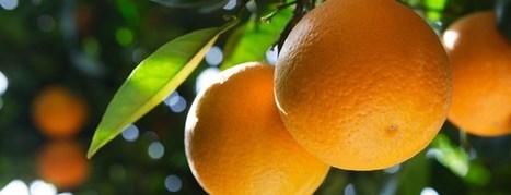 El sector citrícola español: un ejemplo a seguir | Agricultura y Ganaderia | Scoop.it