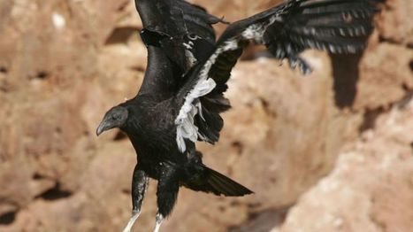 California Condor Chick Survives Being Hatched In Pinnacles National Park For 1st Time In 125 Years   Authentic Yosemite   Scoop.it