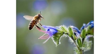 Les abeilles plus sensibles aux pesticides quand la météo est mauvaise - Sciences et Avenir | Abeilles, intoxications et informations | Scoop.it