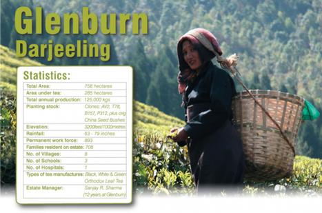 The Story of a Darjeeling Tea Leaf & it's Journey to Awaken Your Senses! | Gifts | Scoop.it