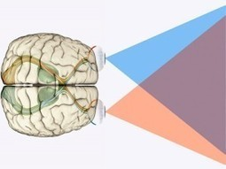 A Critical Theory in Brain Development | Neuroscienze | Scoop.it