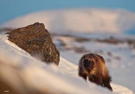 Photographer finds radiance in wildlife of Arctic tundra | CLOVER ENTERPRISES ''THE ENTERTAINMENT OF CHOICE'' | Scoop.it