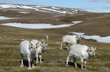 Norway: Svalbard's reindeer thrive as climate warms   Climate News Network   climatefuture   Scoop.it