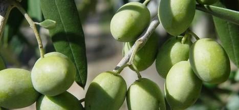 Vulture DOP olio extra vergine di oliva | Olio Extravergine Italiano Costa | Scoop.it
