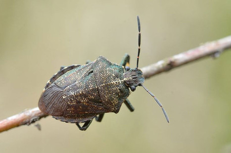 Bug Stops Food Halfway Down Its Gut to Make Room for Microbes – Phenomena: Not Exactly Rocket Science | Media Cultures: Microbiology in the news | Scoop.it