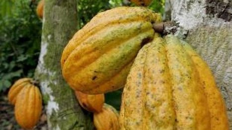 Commodities trader turns 'ethical' cocoa bean buyer - FRANCE 24   @FoodMeditations Time   Scoop.it