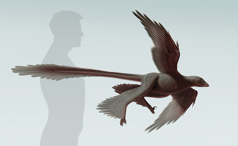 125-million-year-old Changyuraptor sheds light on dinosaur flight | Virology News | Scoop.it