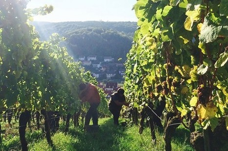 August rainfall 'saved' Germany 2015 harvest - Decanter   Grande Passione   Scoop.it