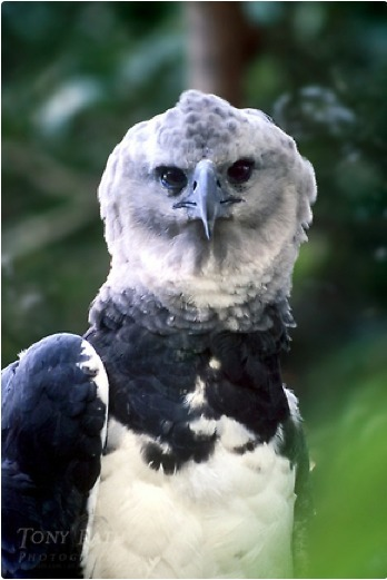 Eagles Believed Extinct Found in Belize | Belize in Social Media | Scoop.it