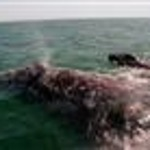 Endangered whales seen off Calif. coast | Life on Earth | Scoop.it