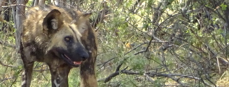 What You Might Not Know About Painted Dogs | Wildlife Conservation: People and Stories | Scoop.it