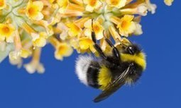Two of the world's top three insecticides harm bumblebees – study | GarryRogers Biosphere News | Scoop.it