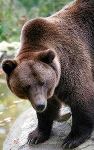 Enclosure opens at Zarnesti Bear Sanctuary to house last 25 bears held in illegal captivity in Romania   Animal Cruelty   Scoop.it