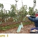 Growing fruit without branches - Good Fruit Grower | Aquaponics~Aquaculture~Fish~Food | Scoop.it