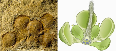 World's Earliest Flower may Date back 162 million Years | NetGeology | Scoop.it
