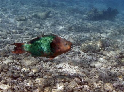 Study: Carib reefs need parrotfish, sea urchins (Update) | Sustain Our Earth | Scoop.it