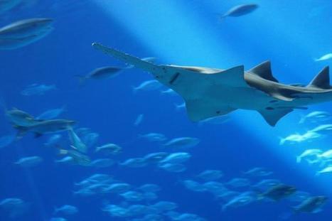 La vie sans mâle, l'astuce du poisson-scie pour échapper à l'extinction | Biodiversité & RSE | Scoop.it