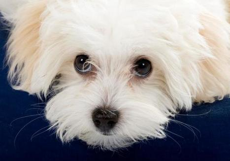 "'Puppy dog eyes' explained by science | Buffy Hamilton's Unquiet Commonplace ""Book"" 
