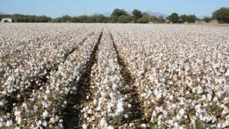 Picking best irrigation termination date in Arizona cotton |  Western Farm Press | CALS in the News | Scoop.it