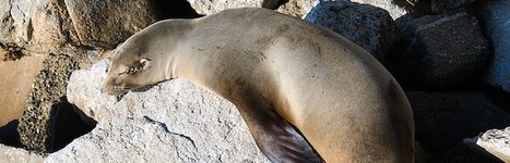 Sea Lions and Global Warming - Sea Lion Facts and Information | Oceans and Wildlife | Scoop.it