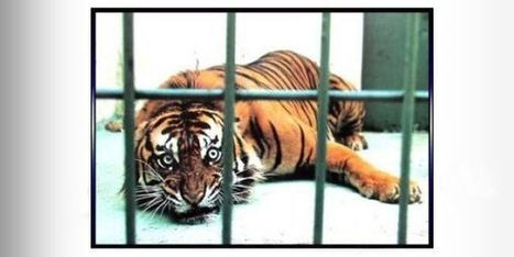 Petition: Please help free this tiger from living hell!!! Petition, please help! | horse protection | Scoop.it